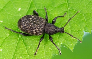 vineweevil
