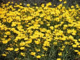Chrysanthemum - coronarium
