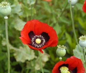 Papaver_somniferum_flowers