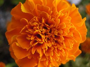 330px-African_Marigold