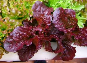 lettuce-red-salad-bowl1-lg
