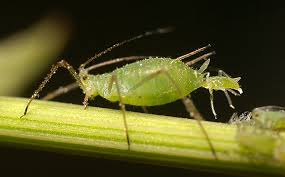 Getting Rid of Those Aphids