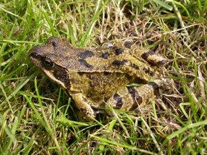 common-frog-